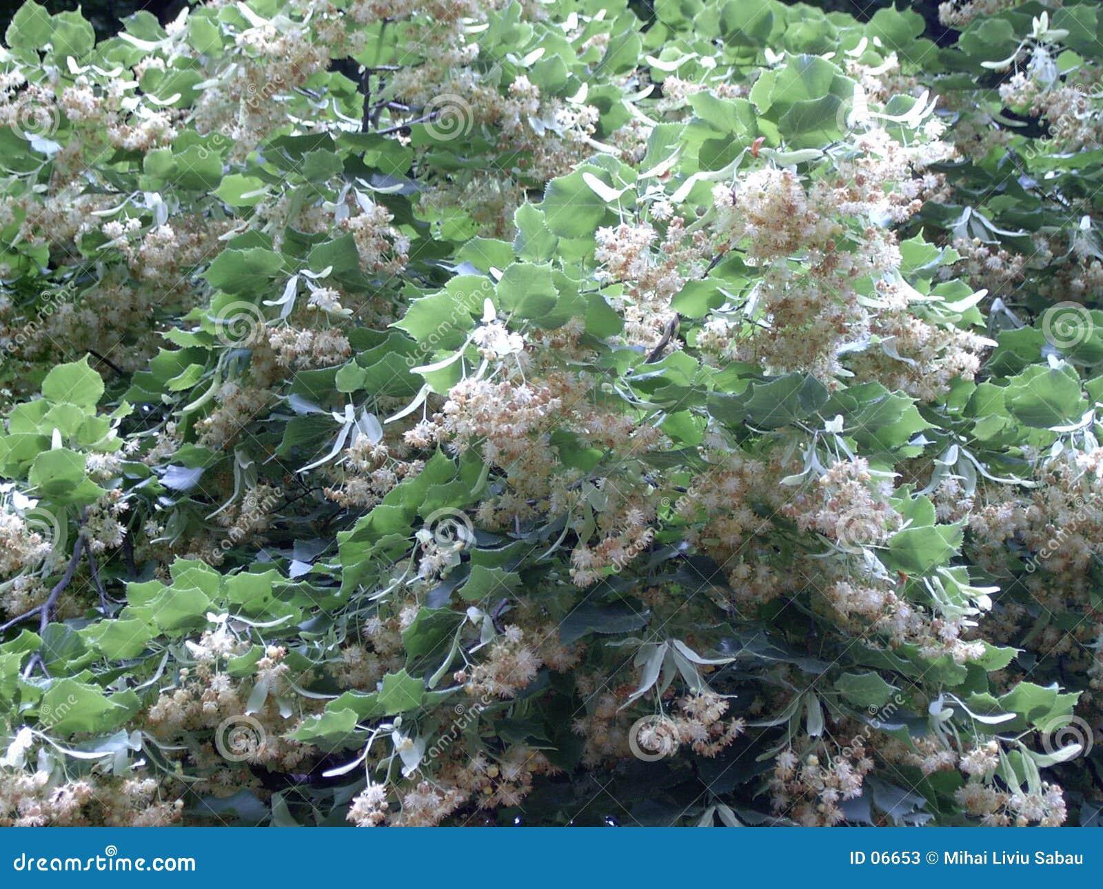Tilliae ανθών flores