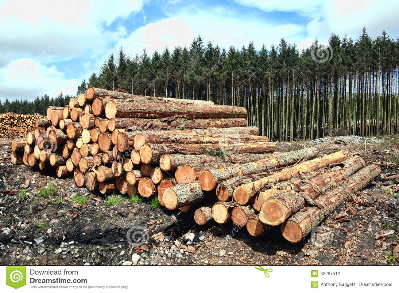 Timber industry stock photo image 62267512 for Pine tree timber