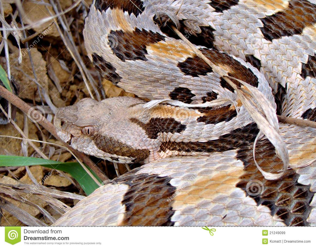 Timber Rattlesnake Striking