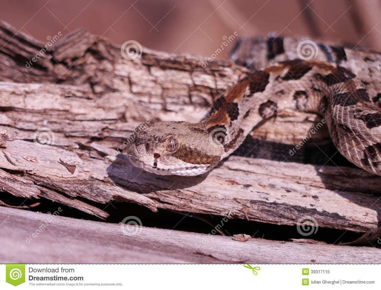 Timber Rattlesnake Stock Photo - Image: 39317115