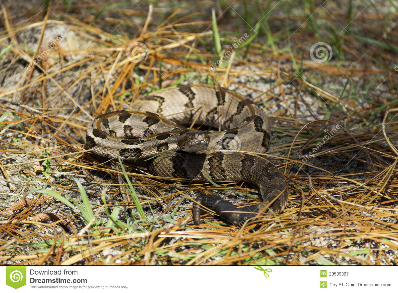 A Timber Rattlesnake Posed To Strike Royalty Free Stock ...