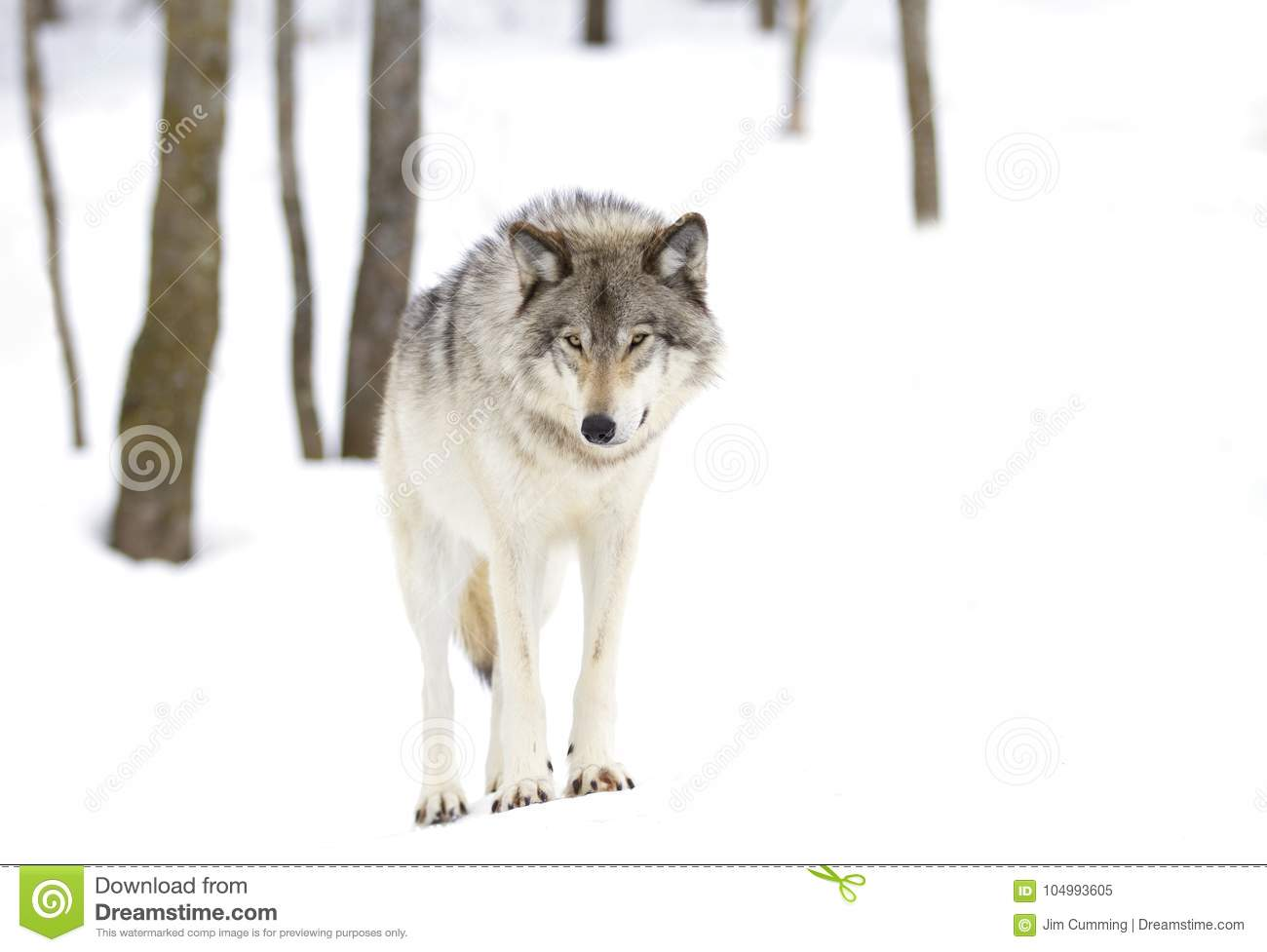 A Timber wolf Canis lupus standing in the winter snow