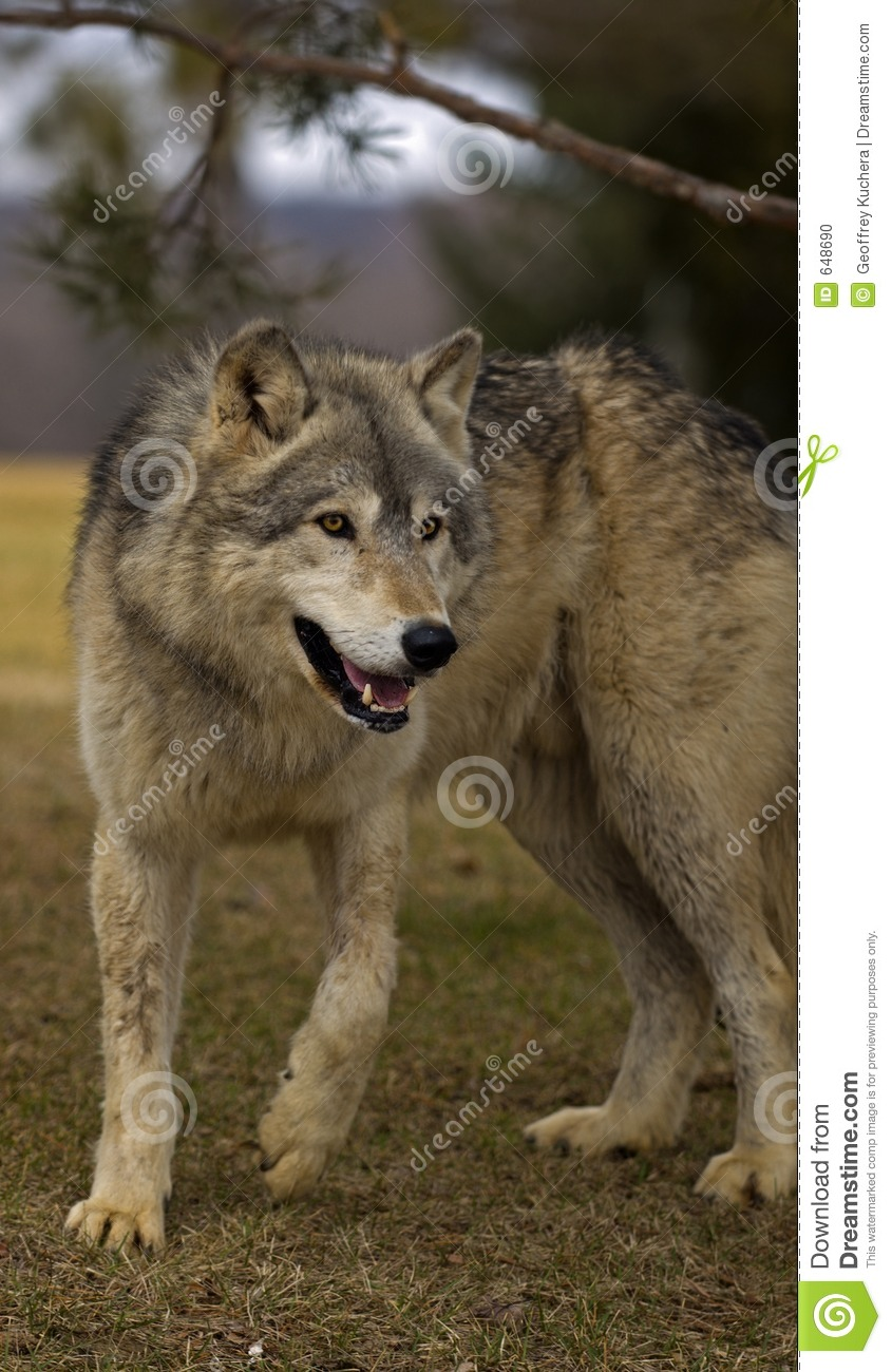 timber wolf  canis lupus  under tree branch stock photo