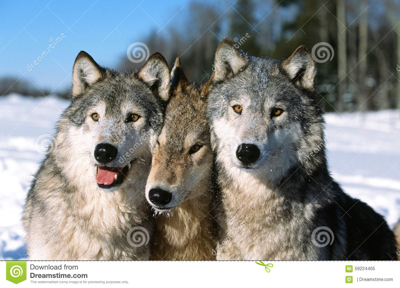 timber wolf pack portrait stock image image of minnesota 59224405