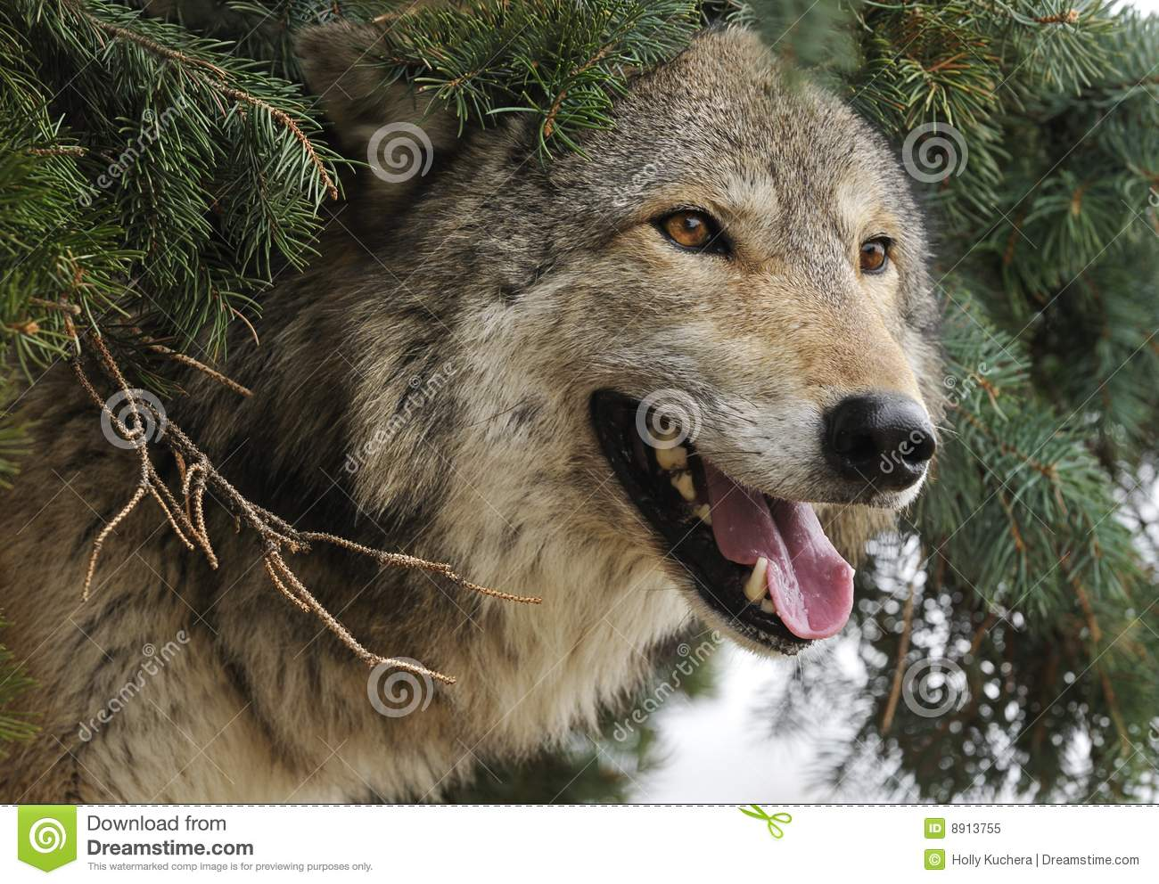 Timber wolf sticks head out from under pine tree royalty for Pine tree timber