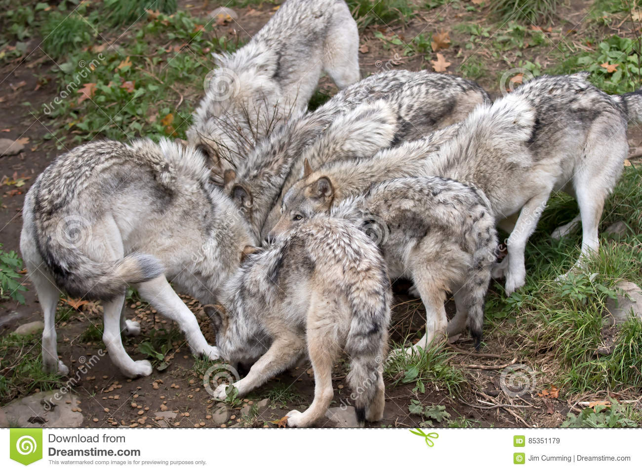 Timber wolves or grey wolves (Canis lupus) feeding in autumn in Canada