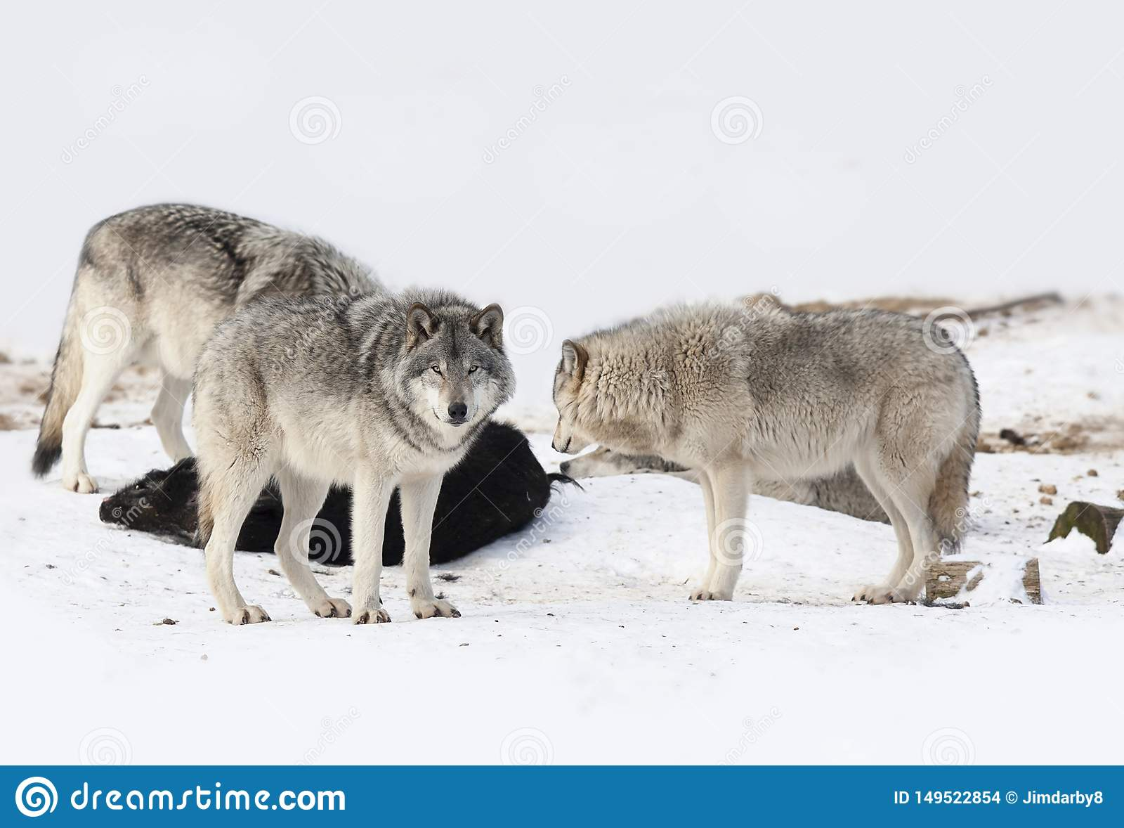 Some Timber wolves or Grey wolves Canis lupus feeding on wild boar carcass in Canada