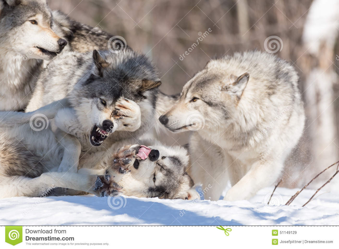 Download Timber Wolves In A Winter Scene Stock Image - Image of beauty, stalk: 51149129