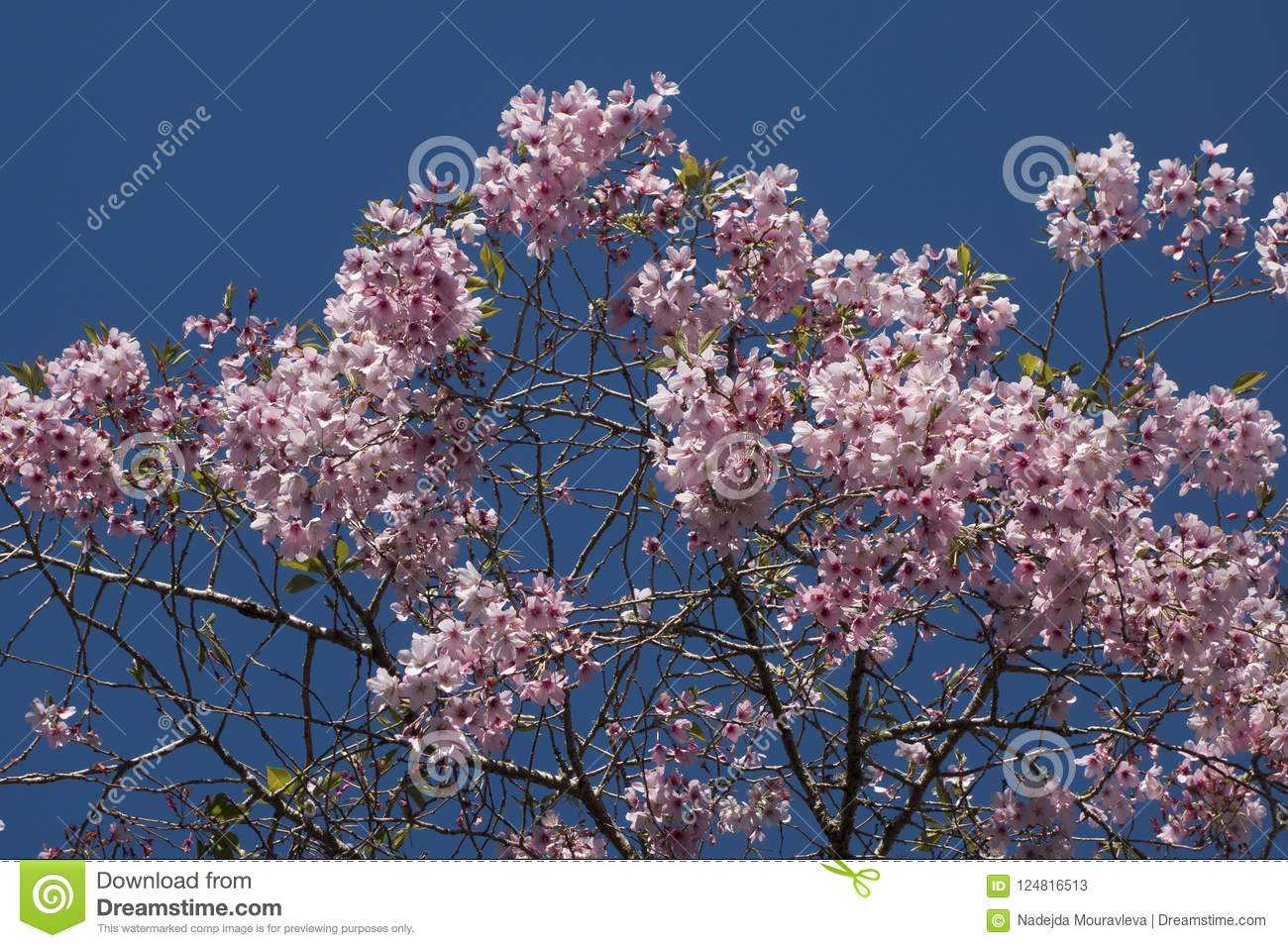 At The Time Of Cherry Blossom Cherry Looks Like Pink Clouds At