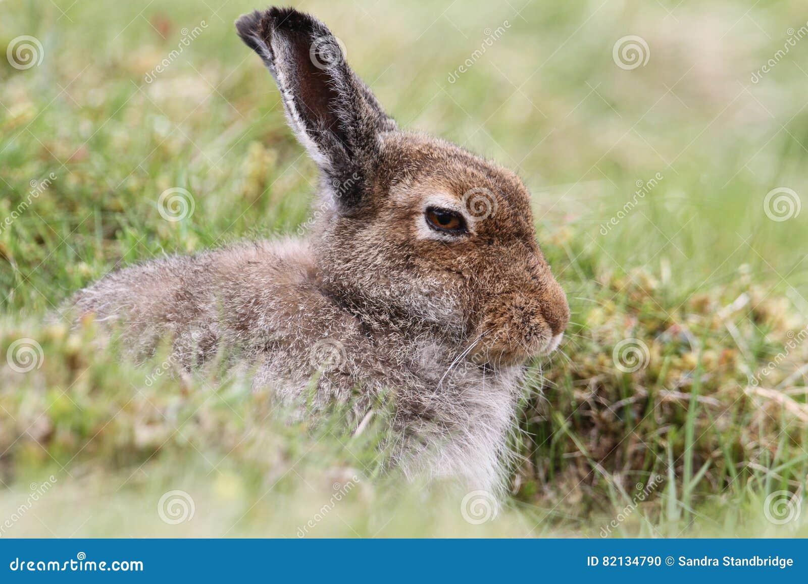 Timidus Lepus зайцев горы в гористых местностях Шотландии принимая укрытие в ` формы `, которое просто отмелая депрессия в th