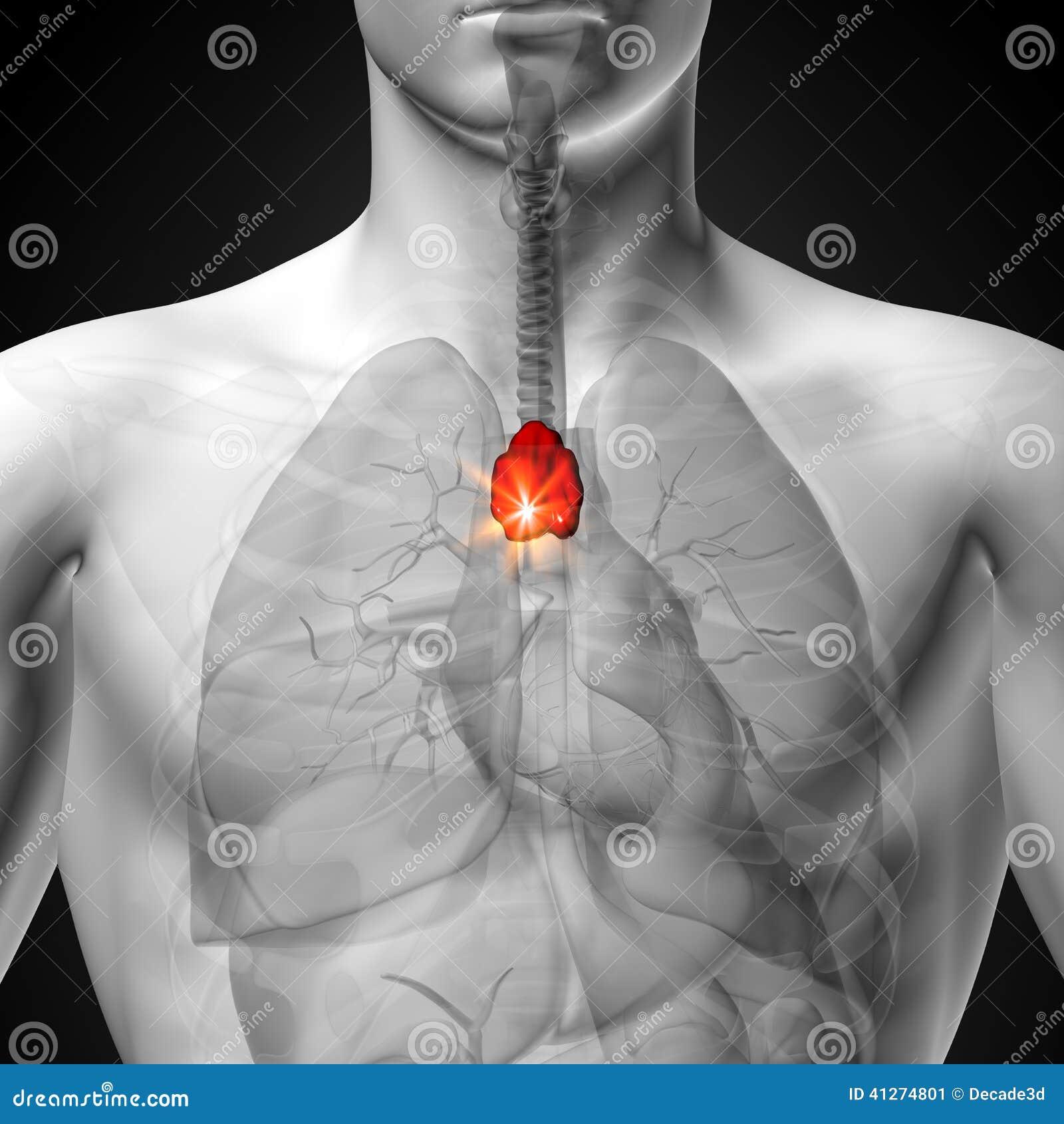 Timo - Anatomía Masculina De órganos Humanos - Opinión De La ...
