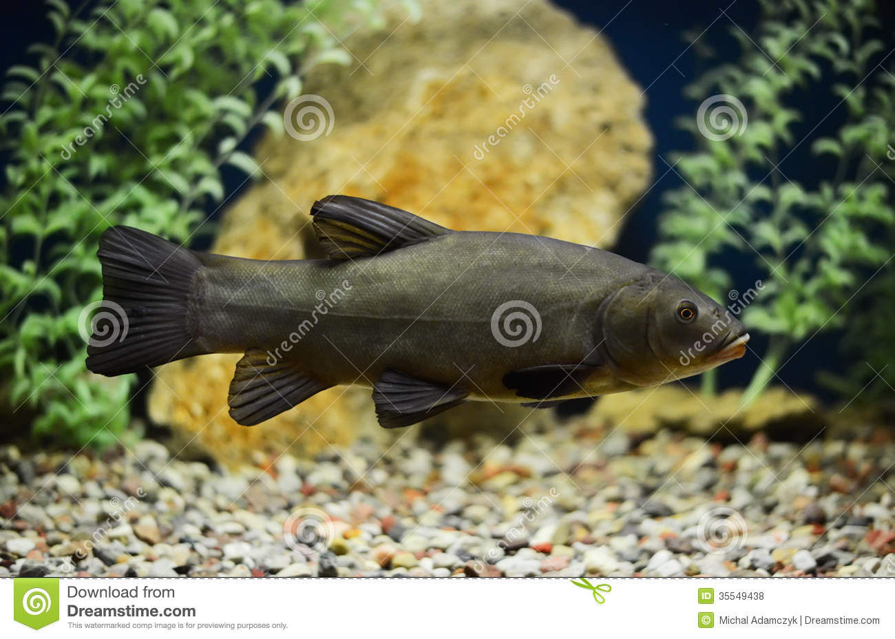 Tinca tinca doctor fish the tench royalty free stock for The fish doctor