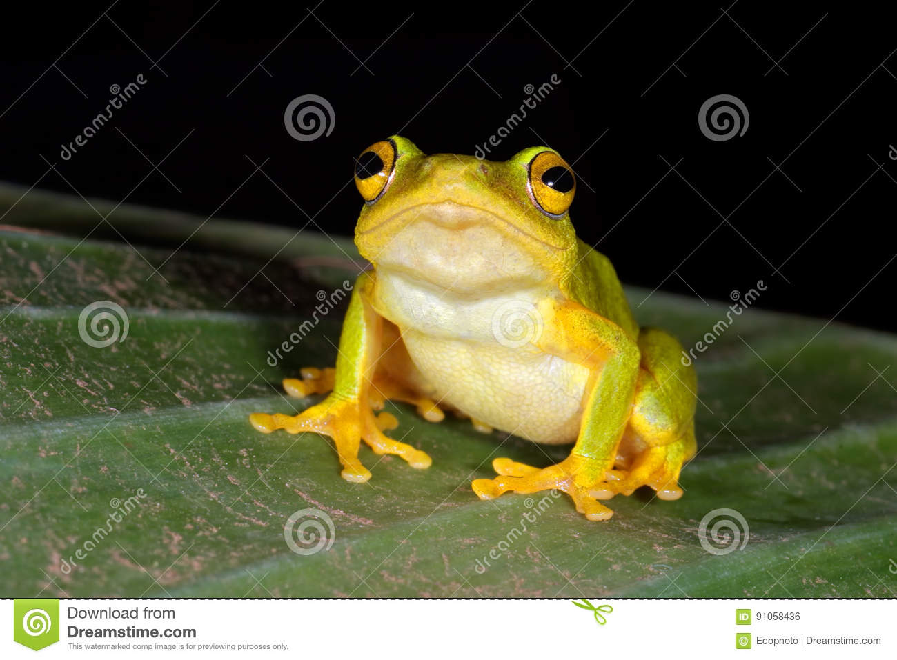 Tinker reed frog