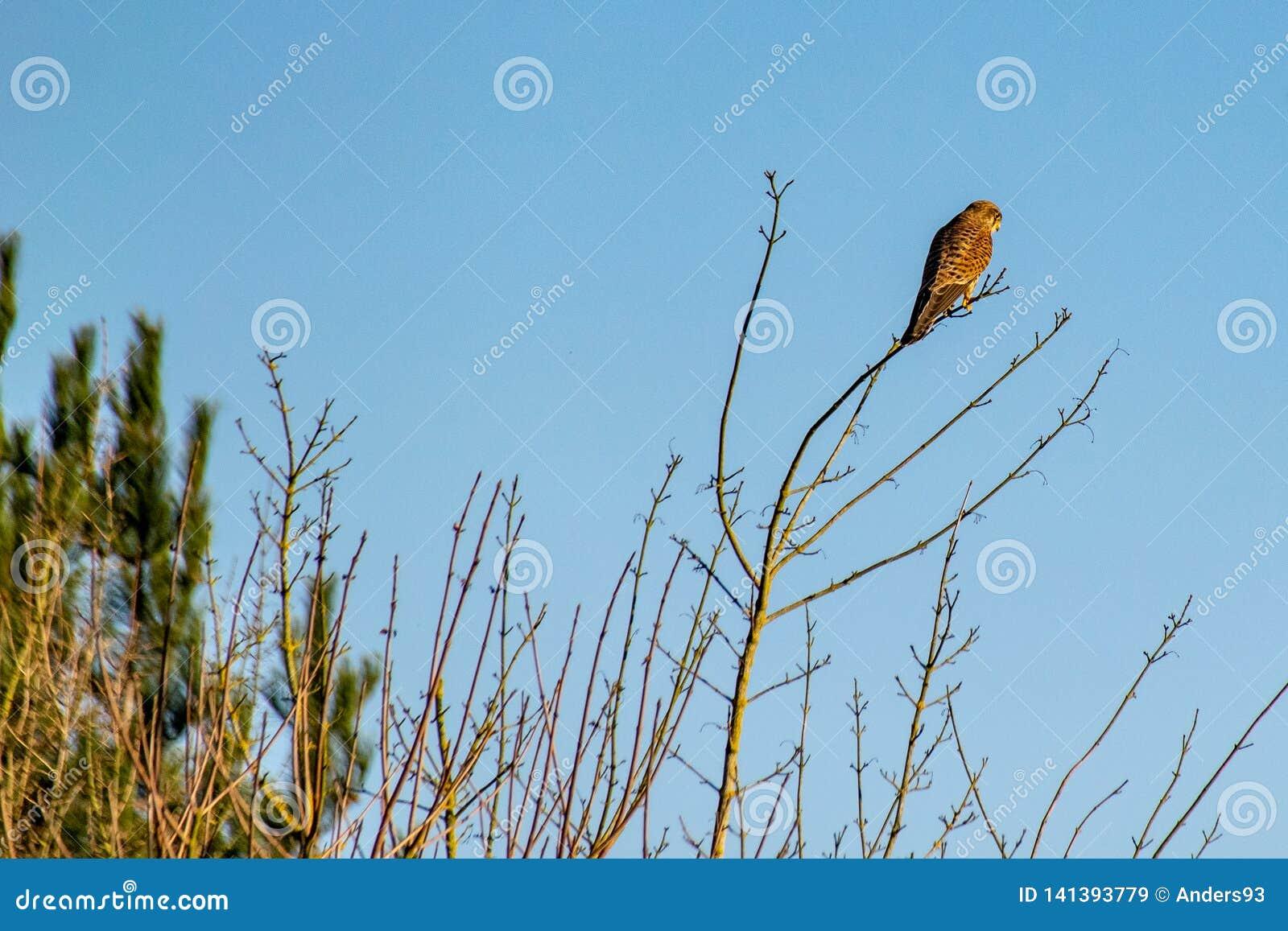 Tinnunculus Falco Kestrel хищной птицы садить на насест на ветвях дерева зимы