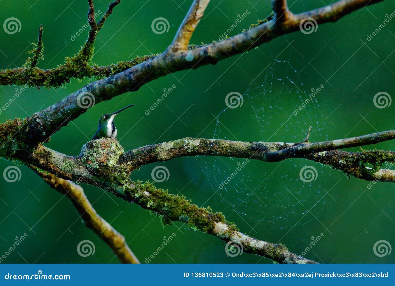Tinny птица в небольшом гнезде на ветви дерева с паутиной Манго колибри зеленое-breasted в тропическом среды обитания природы дик