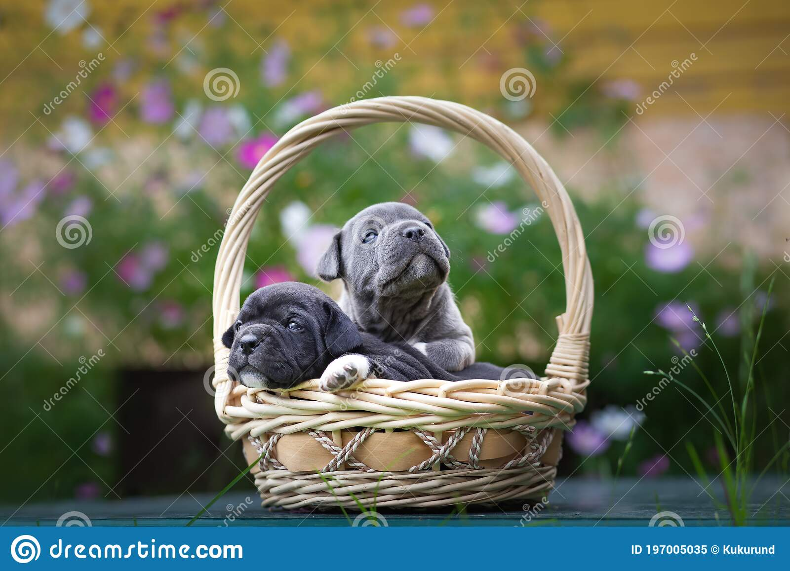 Tiny And Adorable Dog Puppies Breed American Bully Sit In A Wicker Basket Stock Image Image Of Colorful Animal 197005035