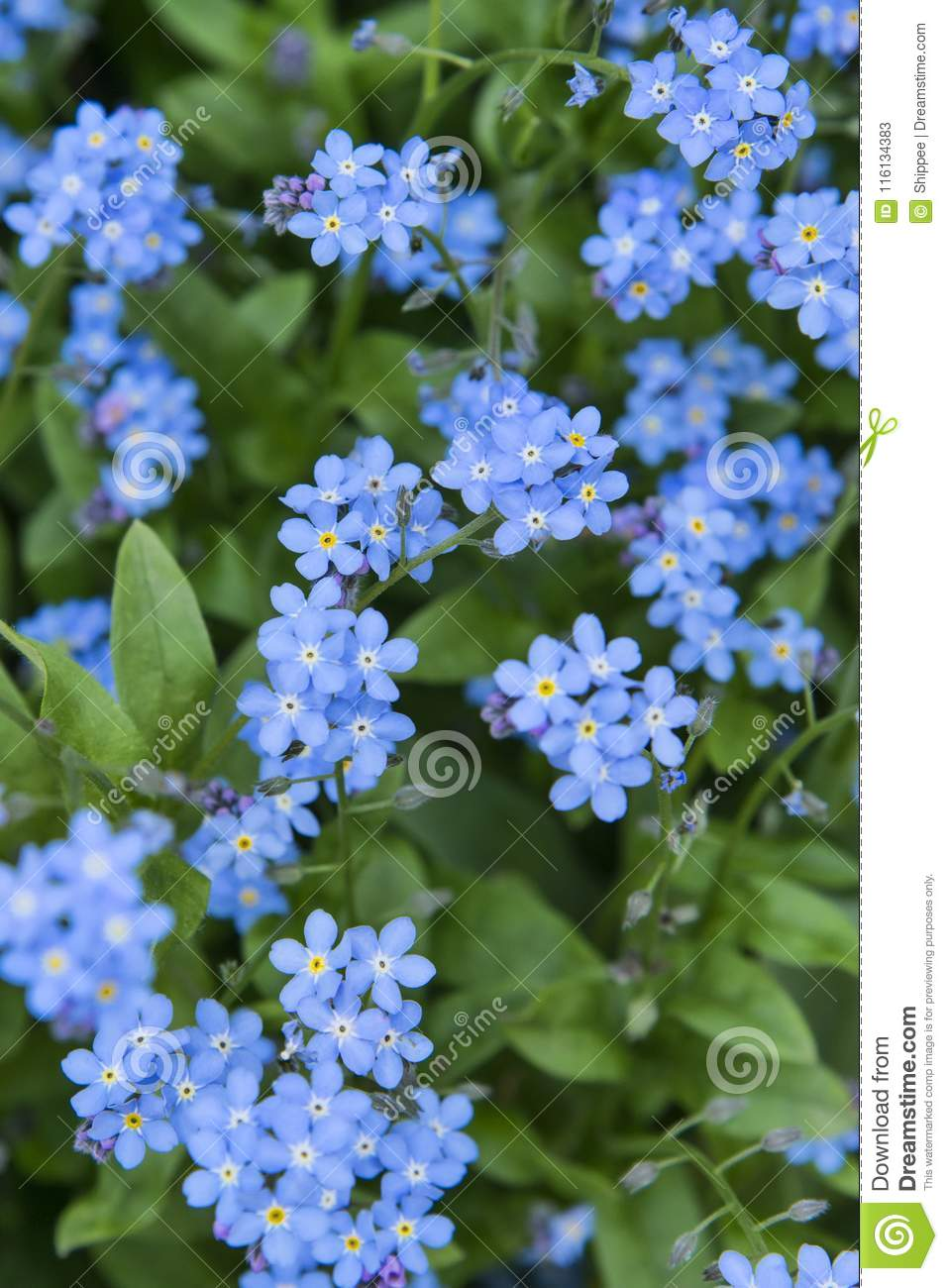 Tiny Blue Flowers Stock Image Image Of Growth Little 116134383