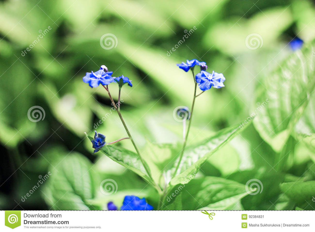 Tiny Blue Flowers Stock Image Image Of Buds Delicate 92384831