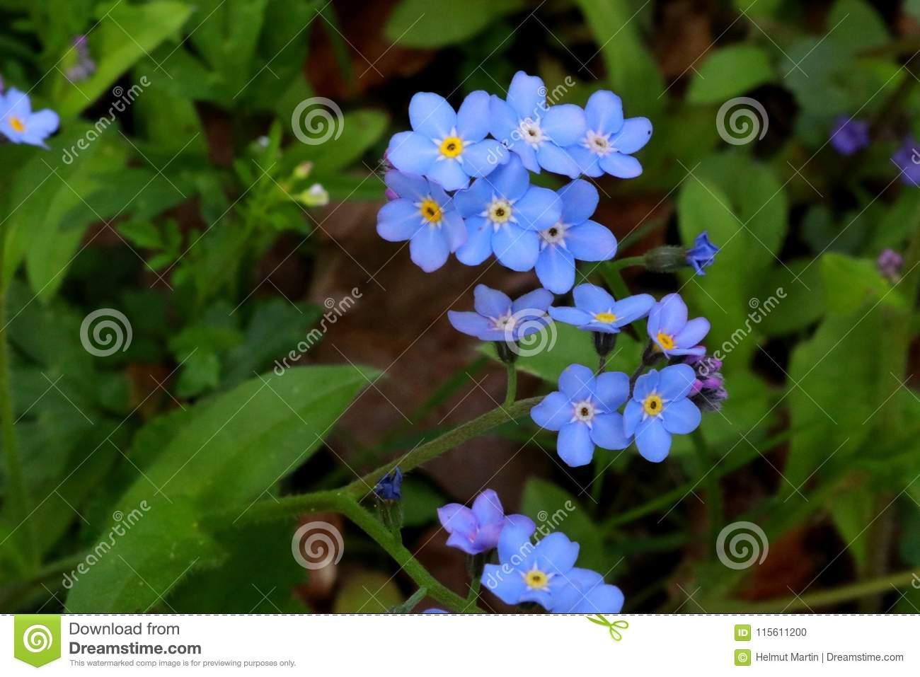 Forget me not myosotis flowers in a close up stock photo image of download forget me not myosotis flowers in a close up stock photo image izmirmasajfo