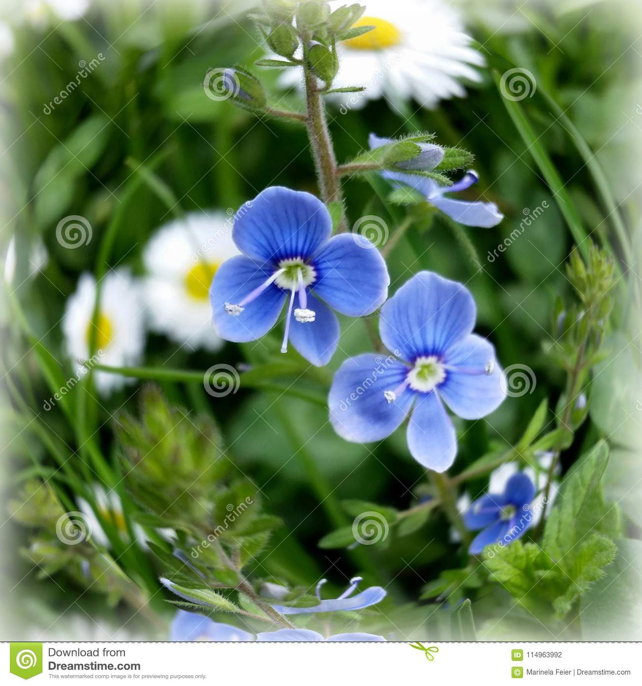 Tiny Blue Flowers Stock Photo Image Of Flower Garden 114963992