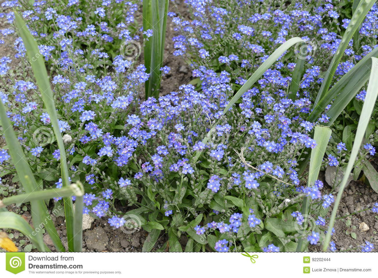 Tiny blue flowers in the spring stock photo image of front bloom tiny blue flowers in the spring izmirmasajfo