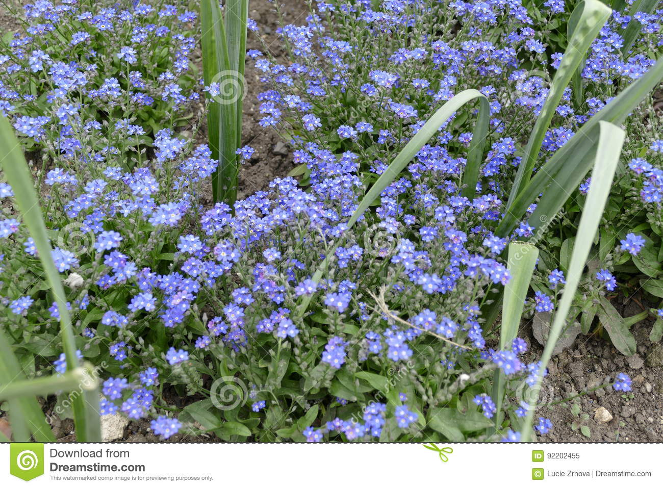 Tiny Blue Flowers In The Spring Stock Image Image Of Blue Nobody