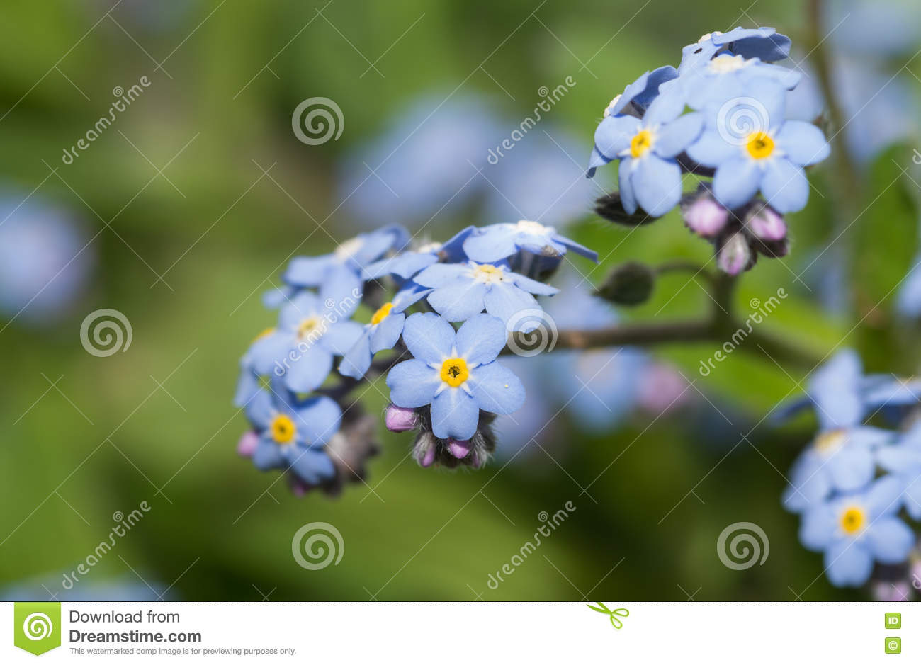 Tiny blue forget me not flower stock image image of purple tiny blue forget me not flower izmirmasajfo