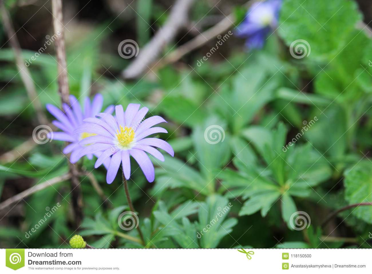 Tiny blue spring wild flowers in forest russia stock photo image download tiny blue spring wild flowers in forest russia stock photo image of garden izmirmasajfo