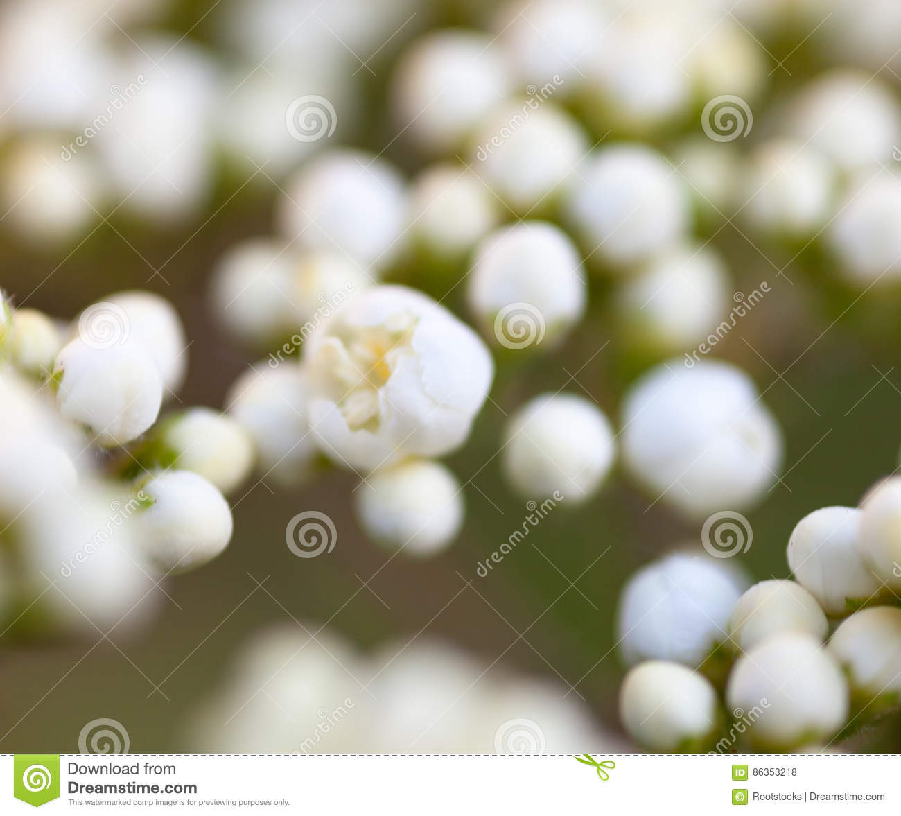 Tiny buds of rowan white flowers stock photo image 86353218 tiny buds of rowan white flowers dhlflorist Image collections