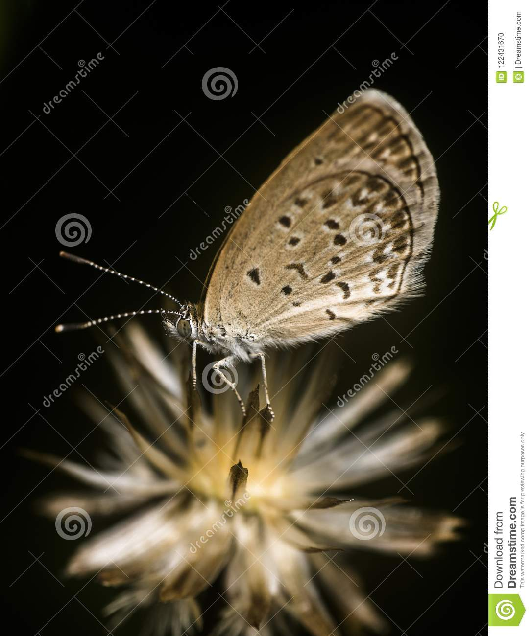 tiny butterfly going to sleep on the dead flower stock photo image