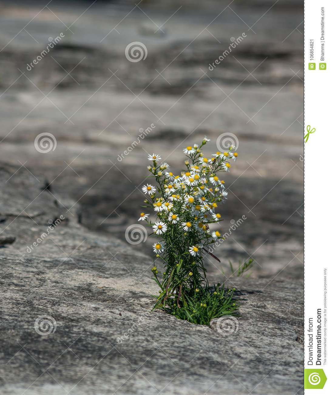 Tiny Daisy Like Flowers Growing From A Crack In A Rock Stock Image