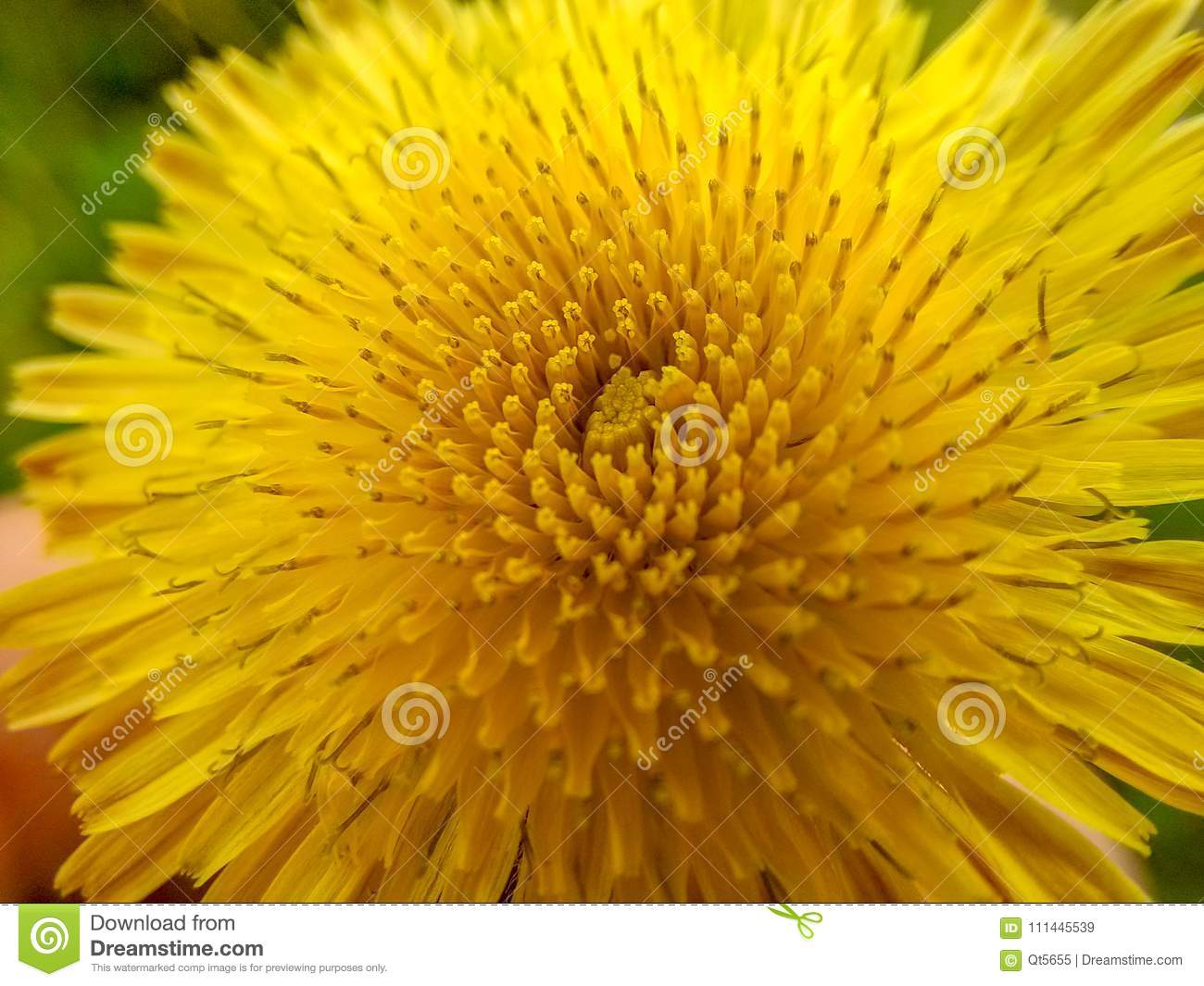 A Close Up Of The Dandelion Stock Image Image Of Beautiful Like