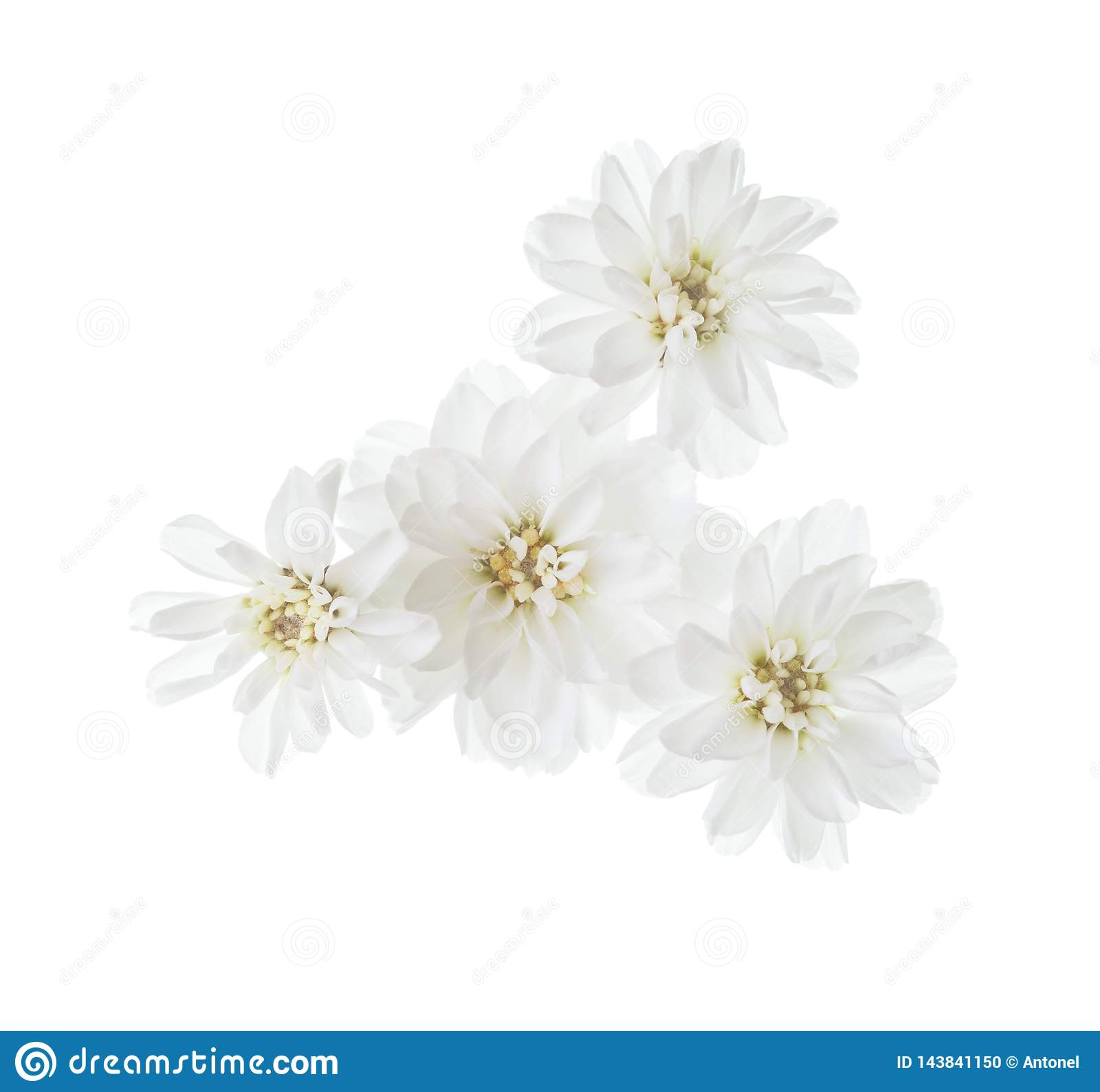 Tiny flowers of sneezewort Achillea ptarmica isolated on white background
