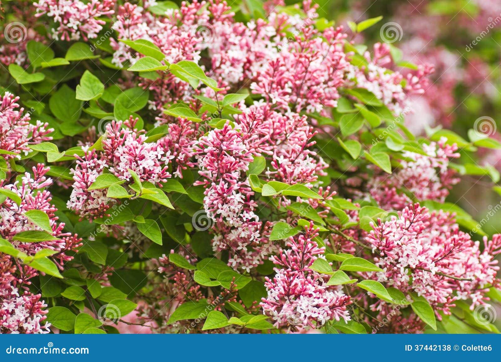 Tiny Fragrant Pink Syringa Royalty Free Stock Photos