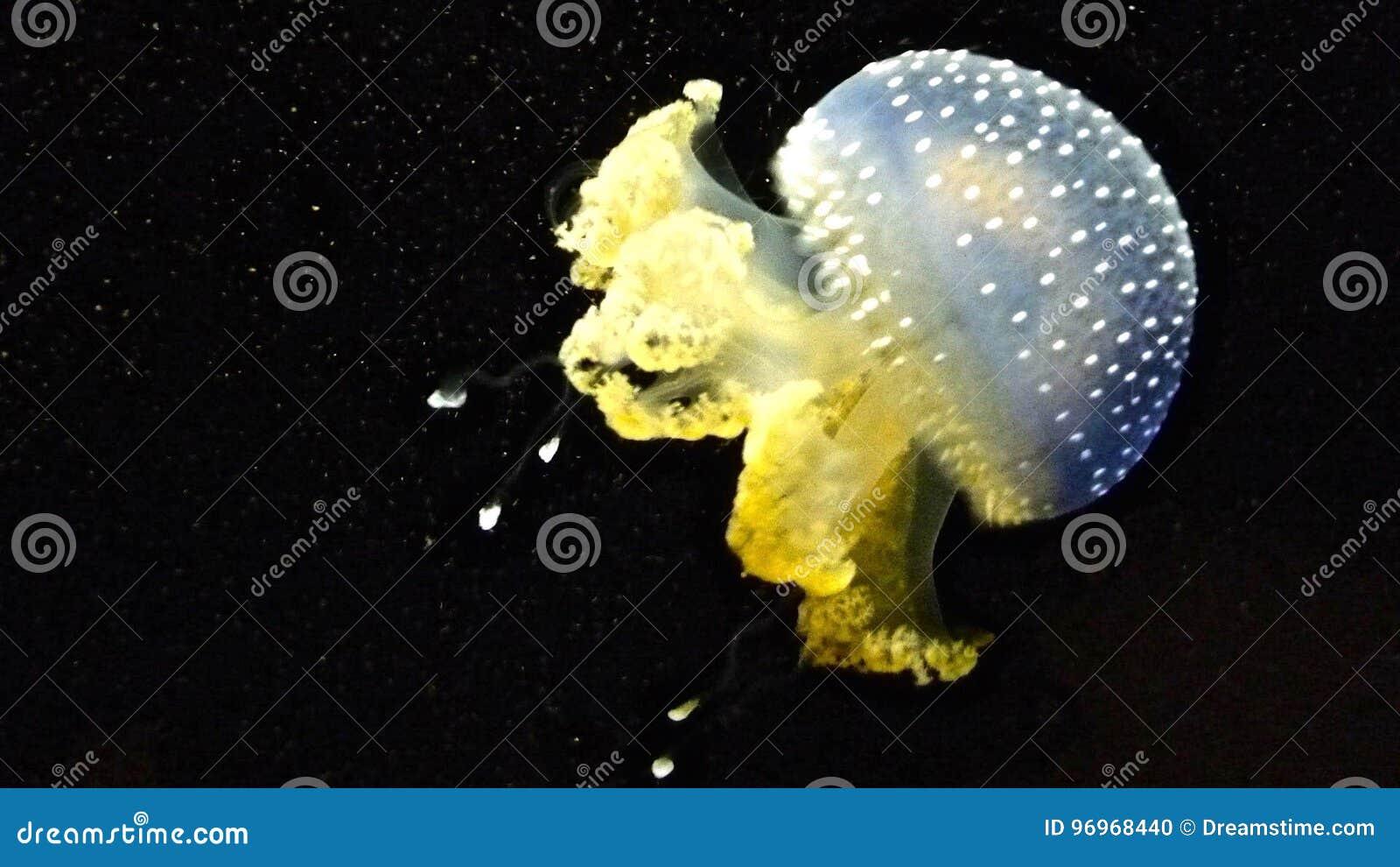 Tiny jelly fish stock photo  Image of swim, macro, jelly