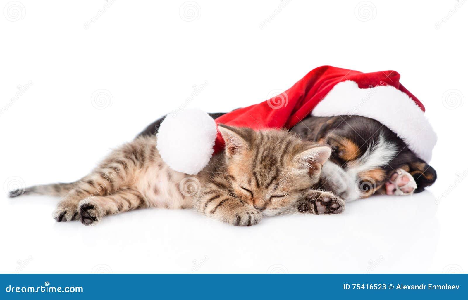 Tiny kitten and basset hound puppy in red santa hat sleeping tog