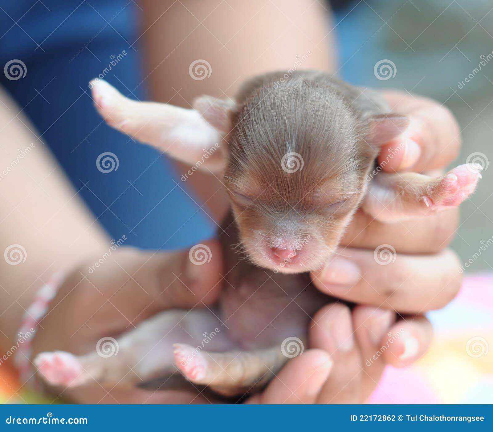 новорождённые чихуахуа фото