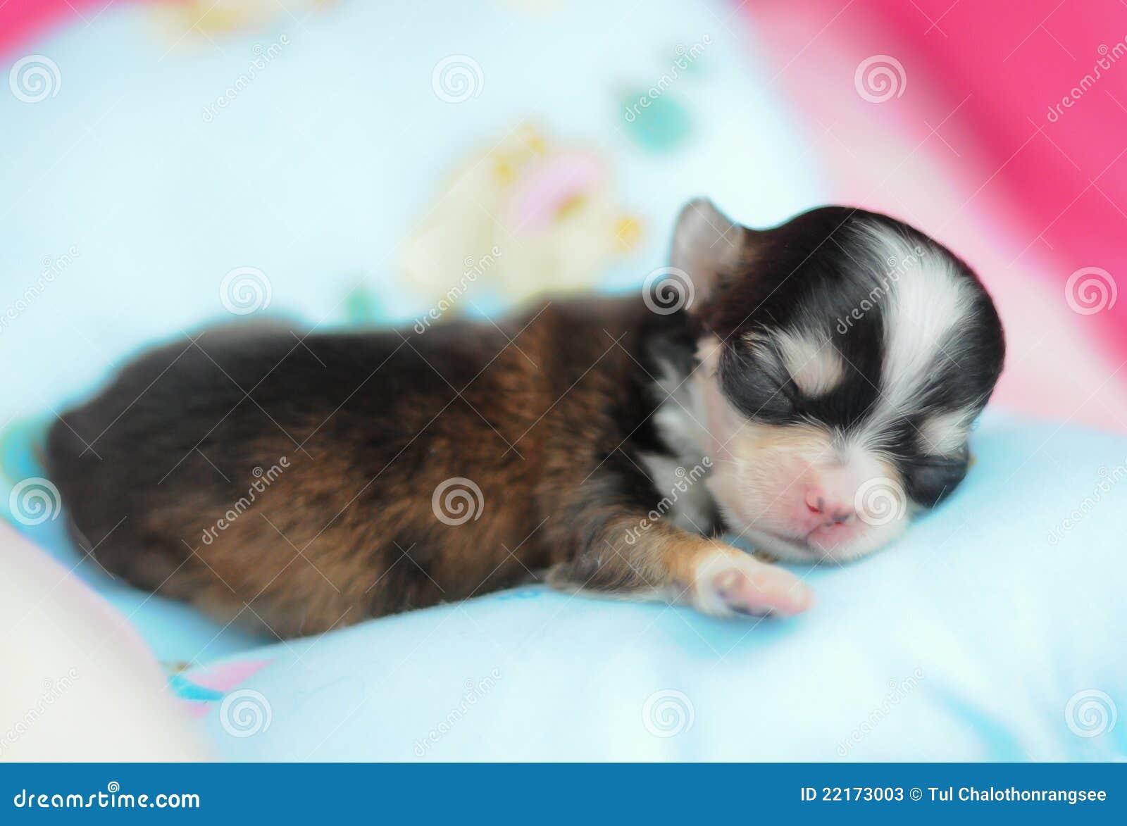 Tiny Newborn Chihuahua Stock Image Image Of Face Small