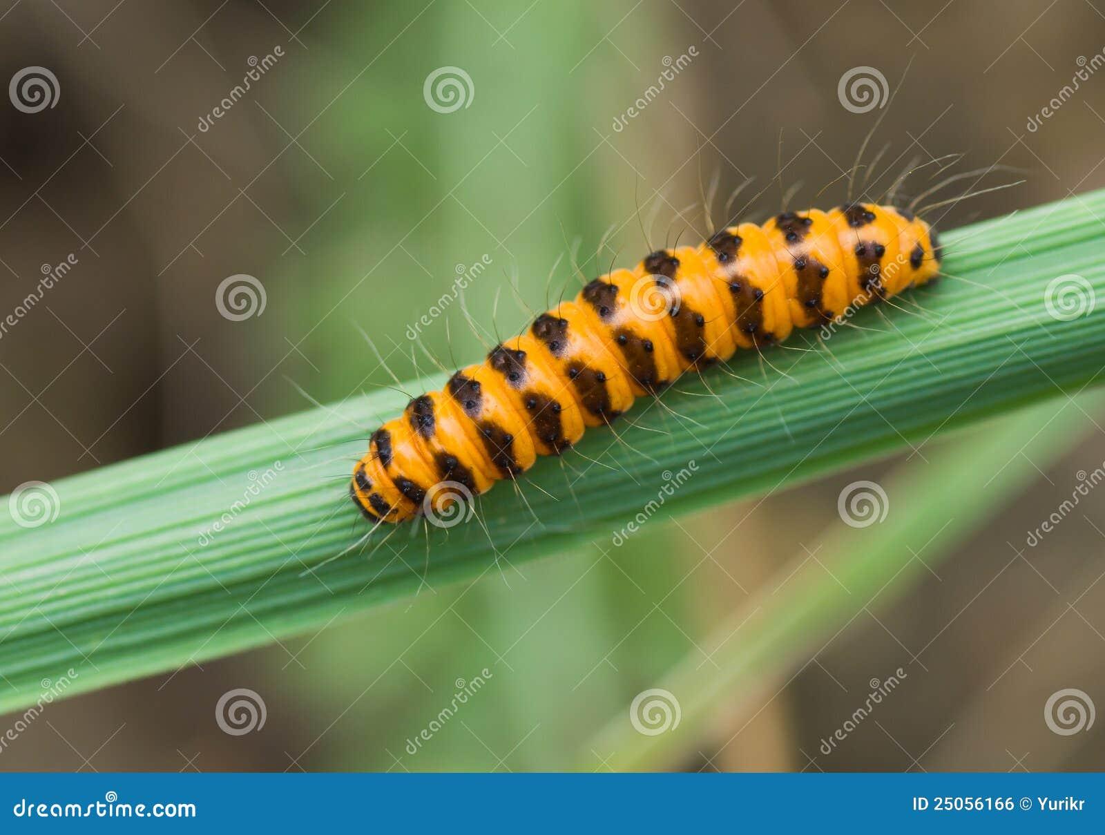 Green caterpillar orange strip blackman nude