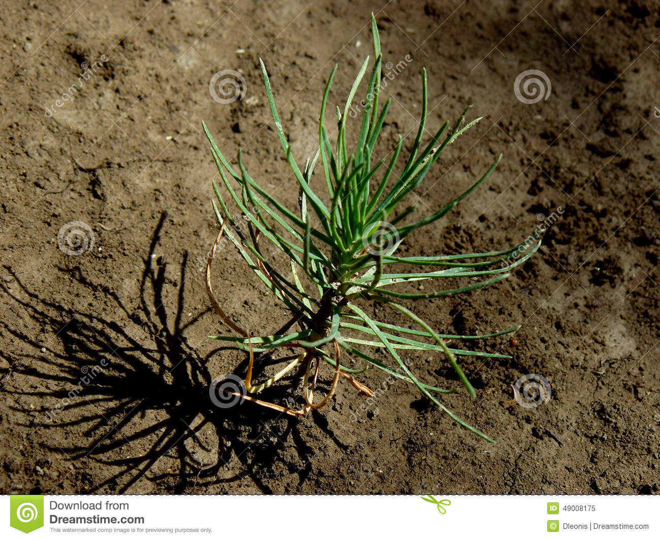 Tiny pine tree seedling stock image. Image of agriculture - 49008175