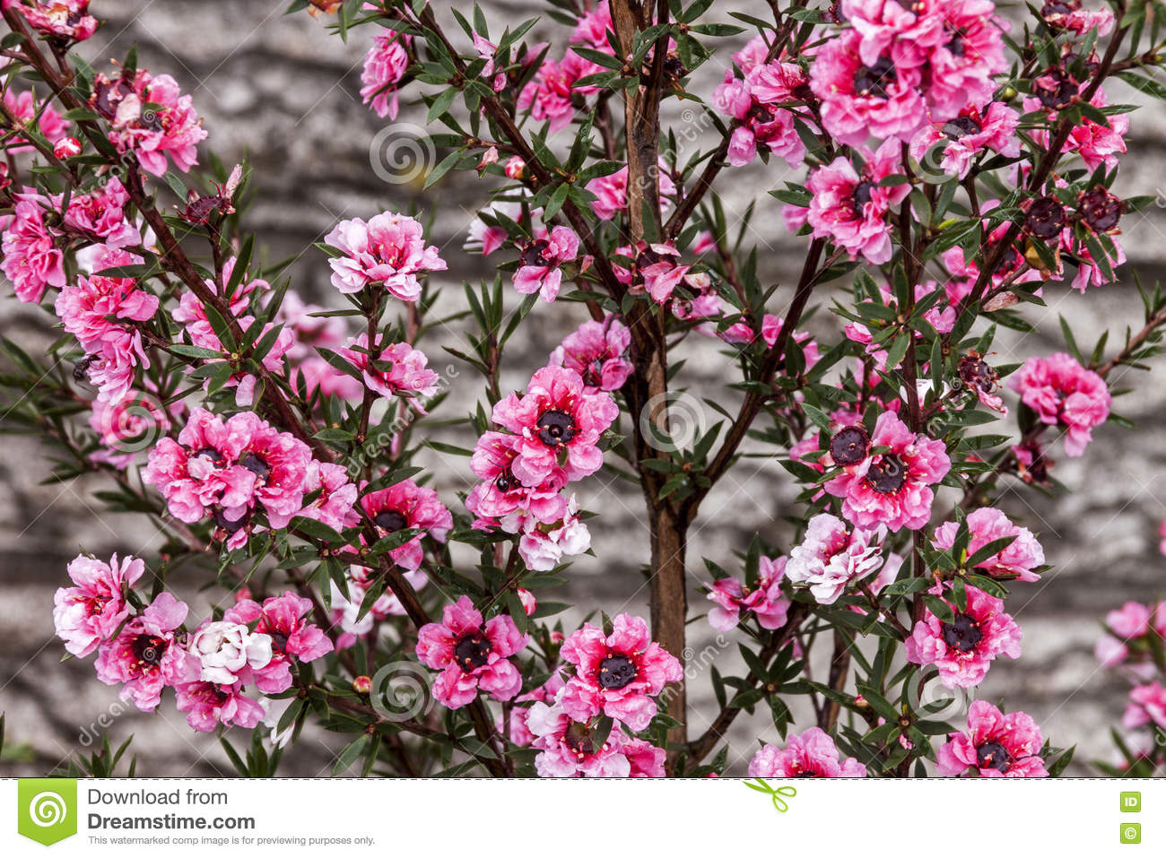 Small pink flower bush gallery flower decoration ideas shrub with small pink flowers gallery flower decoration ideas green bush with pink flowers image collections mightylinksfo