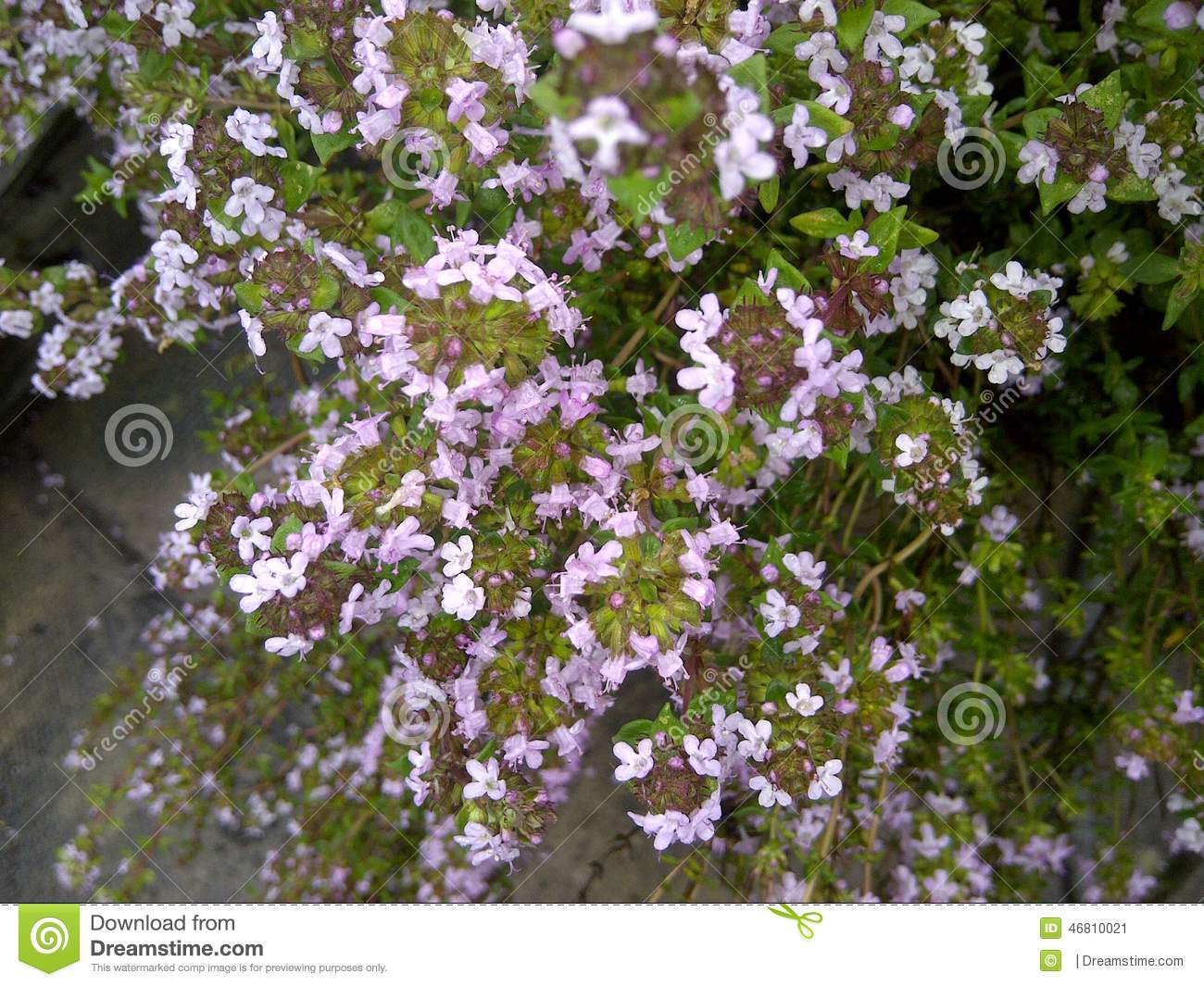Tiny Pink Flowers Stock Image Image Of Pink Herbs 46810021