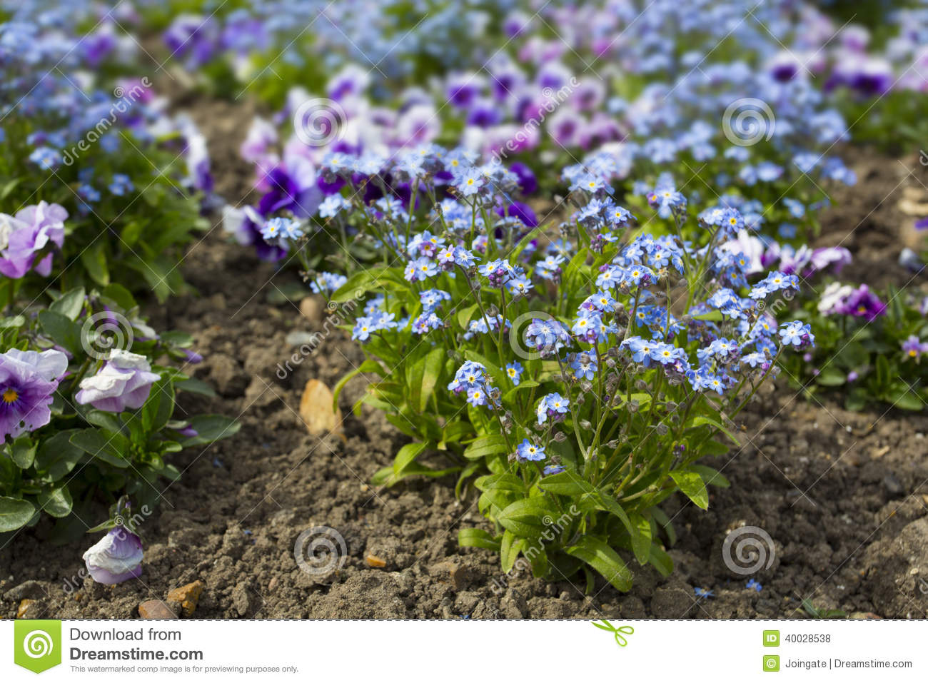 Tiny Purple And Blue Flowers In A Garden Border Stock Photo Image