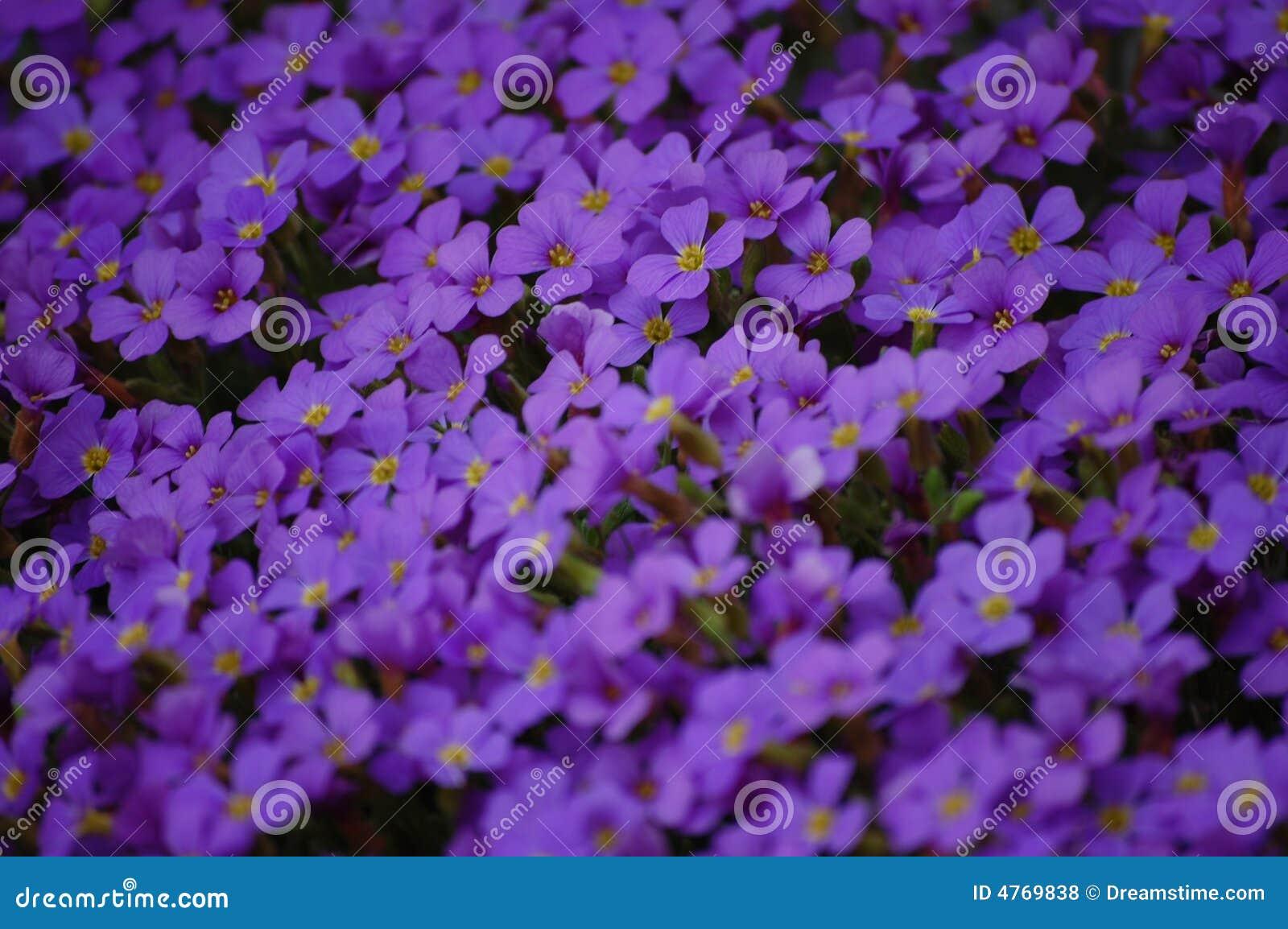 Tiny Purple Flowers Royalty Free Stock Photos Image 4769838