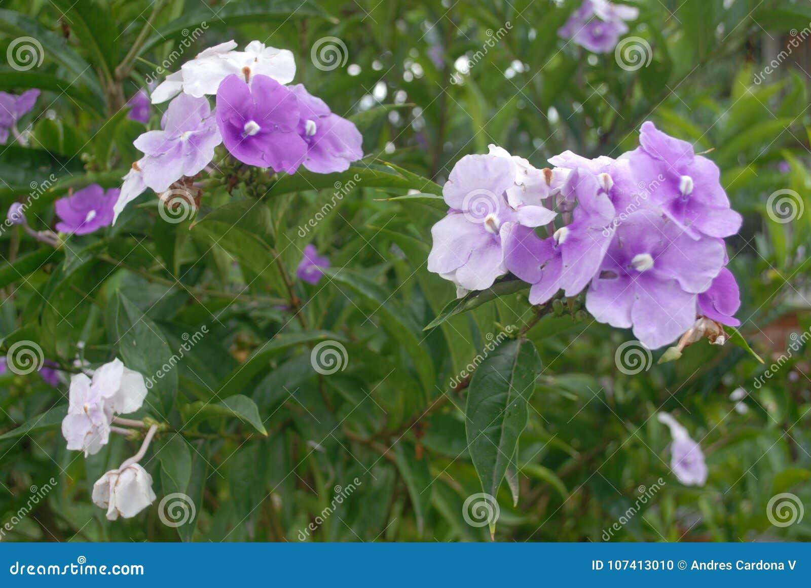 Tiny Purple White Flowers Stock Photo Image Of Roja 107413010