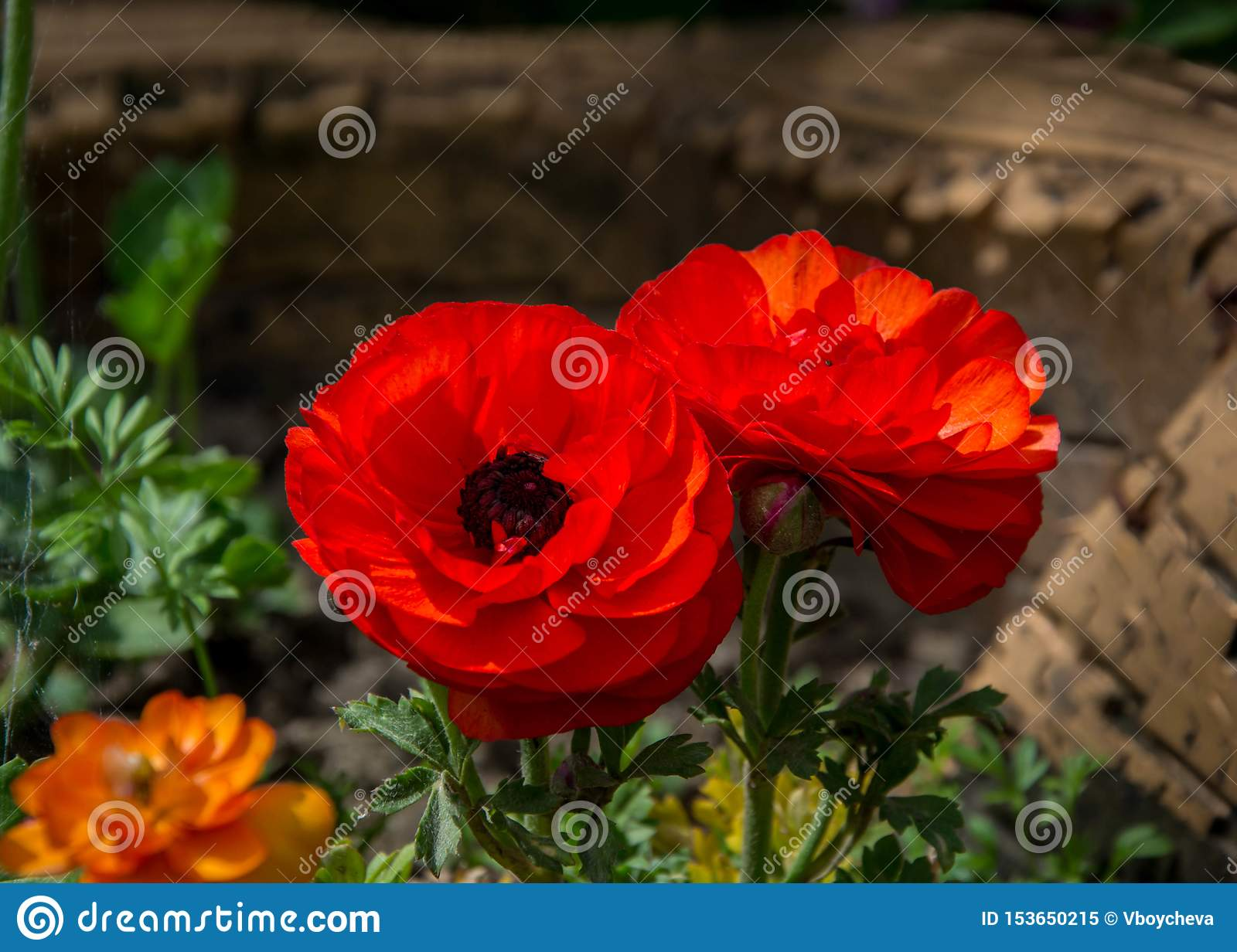 Tiny Red Flower With Black Center Looks Like Poppy Flower Springtime Blossom Spring Flowers Stock Image Image Of Blossoming Color 153650215