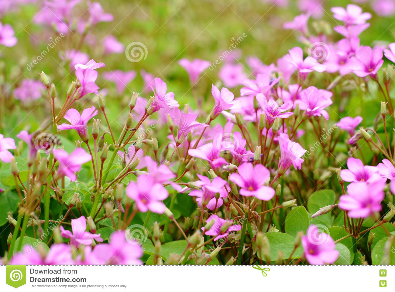 Tiny Red Flower Latin Name Oxalis Corymbosa Dc Stock Image Image