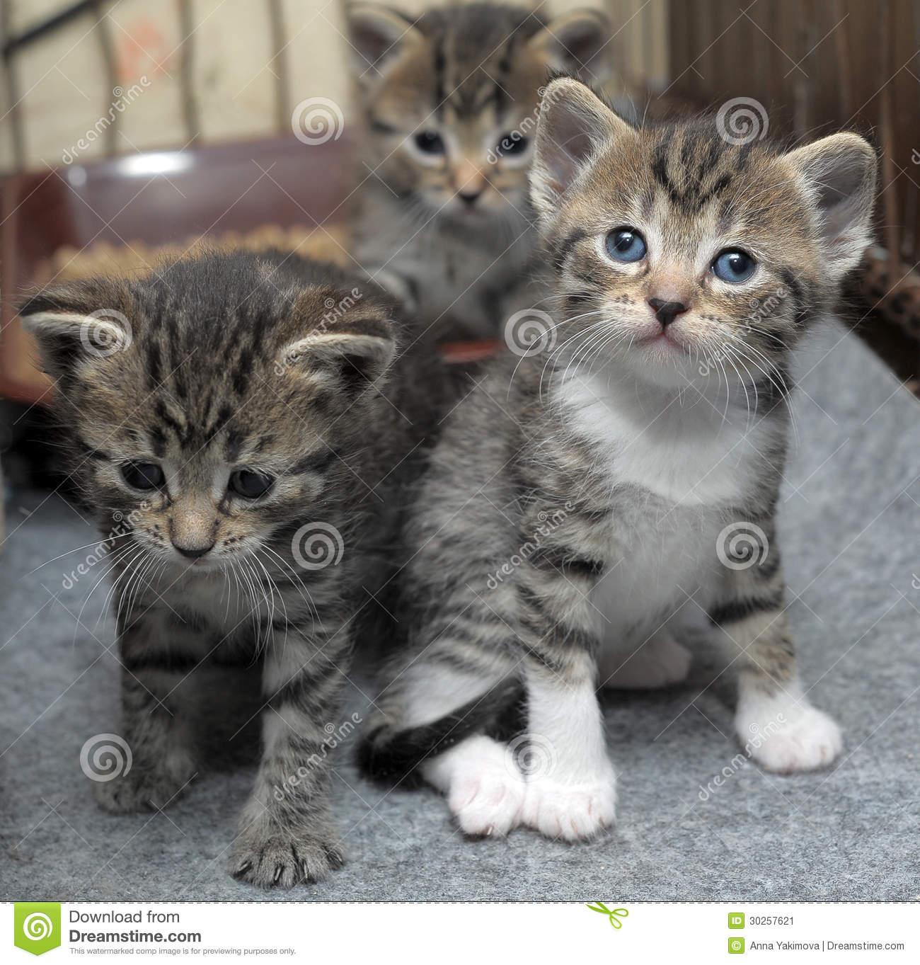 Tabby kitten information