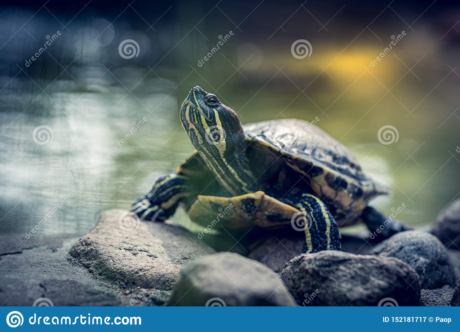 Tiny turtle on a small rock