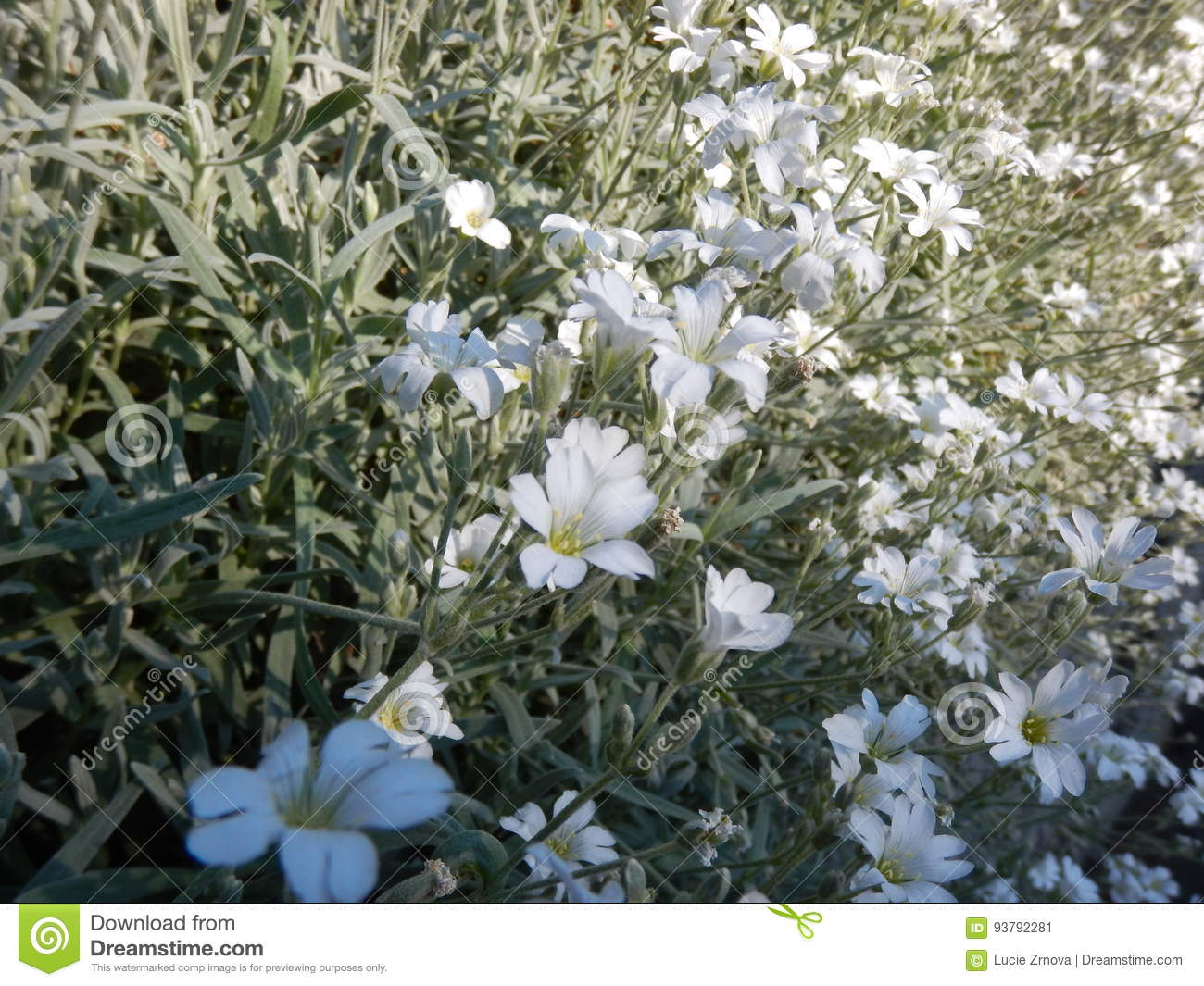 Tiny White Flower In Blossom Stock Image Image Of Landscape Flora
